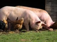 Objavljen natječaj za sufinanciranje postavljanja dvostrukih ograda u uzgojima svinja koje se drže na otvorenom za 2021. godinu